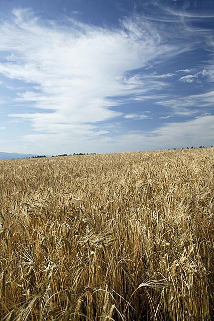 豊かな大地が育む小麦畑